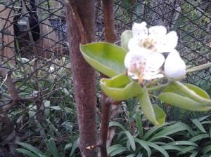 Pear blossom_2014